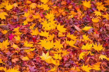 Red, orange and yellow maple tree fall in the garden with golden sunlight and blurred background, JapanRed maple leaves branches in autumn season background