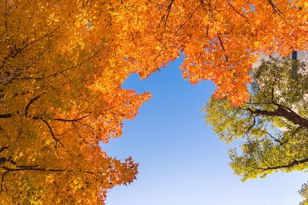 Red maple tree with golden sunlight and blue sky background, JapanRed maple leaves branches in autumn season isolated on white background