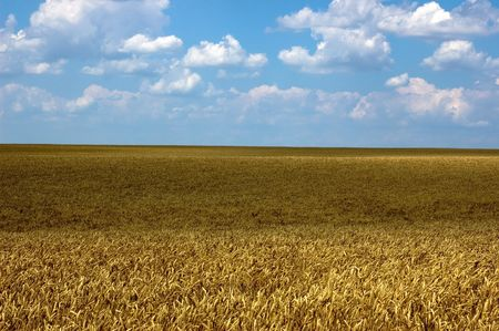gramineous: Wheat field landscapeFiled of grain in summer Stock Photo