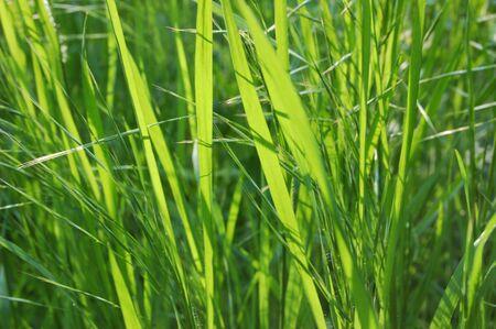 herbage: native-grasses
