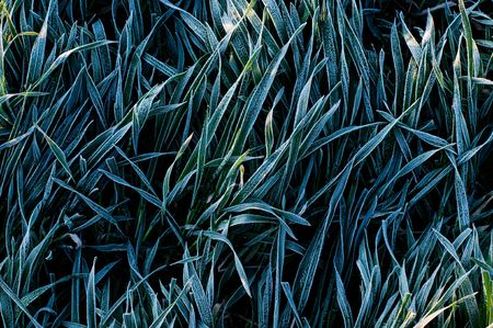 Background of frosty grass blades  photo