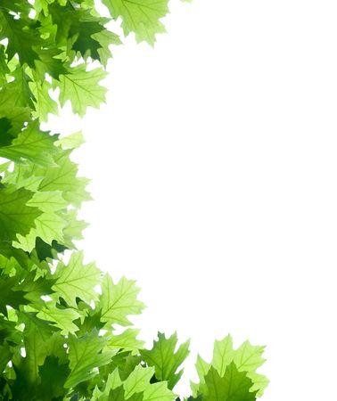 feuille arbre: cadre en ch�ne isol� sur blanc