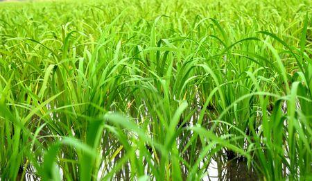 cornfield: rice in cornfield Stock Photo