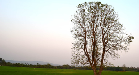 There are no leaves on the trees Rice fields And the morning sky photo