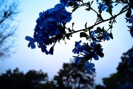 auriculata: plumbago bouquet bluish Evening light Sky blue and white tone
