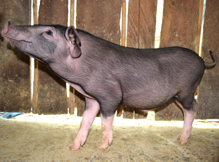 pot bellied: Little black pig is look side view Focus on the head Stock Photo
