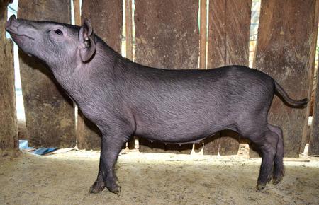 pot bellied: Little black pig is look side view
