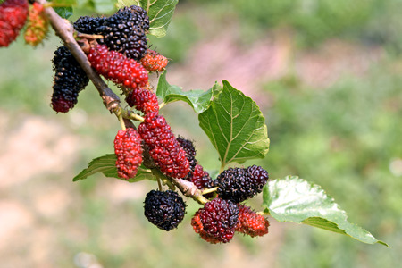 Thai Mulberry On Mulberry Tree ,in thailand photo