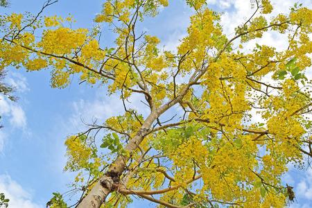 golden shower: Golden shower tree, beautiful yellow flower name is Ratchaphruek