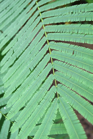 pennata: light green leaves of Climbing Wattle tree, Acacia pennata (L.), THAI
