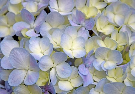 Close-up beautiful floral Purple-yellow hydrangea flowers photo