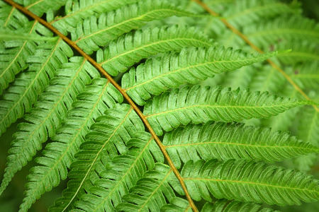 brake fern: Beautyful leaf of fern (Cyathea lepifera) is close-up  Stock Photo