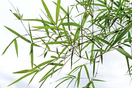 sfondo giungla: bella bamb� foglie verdi in una giungla sfondo primo piano