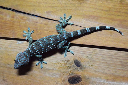 gecko is peel the light blue and orange on wood wall photo