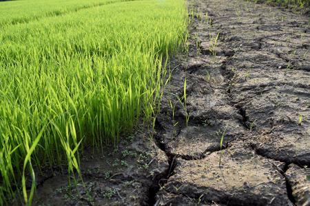 Green rice seedlings and Dry soil is rift