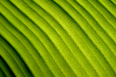 diagonal lines: Nature abstract  green banana leaf Diagonal lines