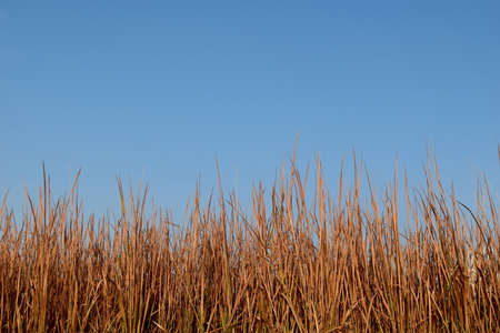 red grass: Brown red Grass dry and blue sky
