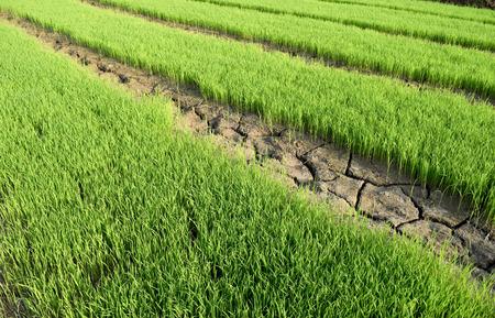 rift: Green rice seedlings and Dry soil is rift