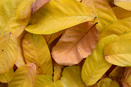 pile of leaves: pile of Yellow leaves abstract close up background