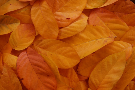 pile of leaves: pile of orange leaves abstract close up background