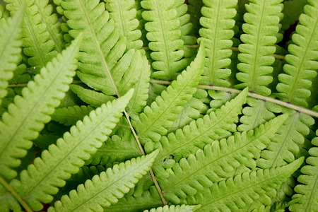 brake fern: Beautyful leaf of fern is close-up background