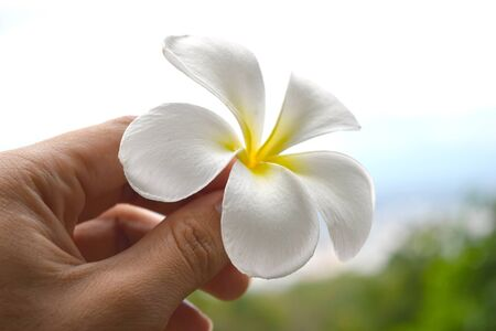 asian lady: holding Frangipani flowers white yellow Plumeria flower