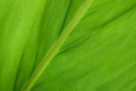 Close up green galangal leaves abstract background Imagens