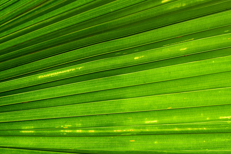 green line: Green Palm leaf line abstract nature background Stock Photo