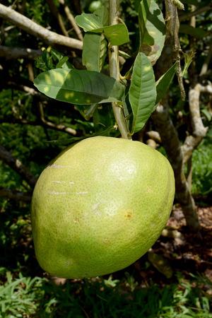 rutaceae: Citrus medica L. var. sarcodactylis Hoola van Nooten Swingle - RUTACEAE Foto de archivo