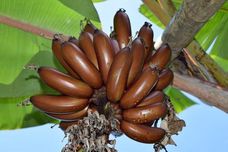 musa: Amazing Brown Musa banana  bundle - MUSACEAE