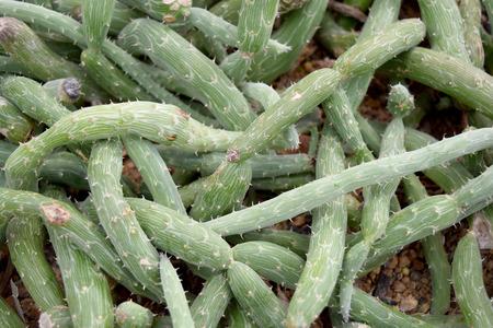 senecio: Arid plants - ASTERACEAE , Senecio pendulus Forssk. Sch. Bip.