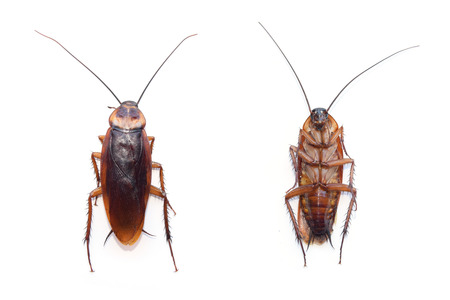 roach: front and back cockroach isolate on white background