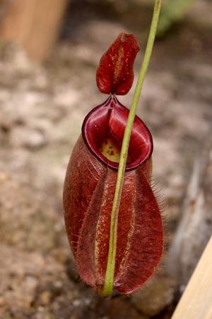 carnivorous: Carnivorous plants - Beautiful Close up red N. sumatrana Stock Photo