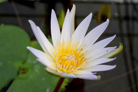 White Yellow lotus flower  Nymphaea Daubenyana