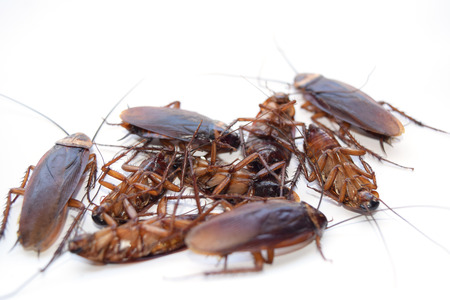 Gruppe tote Kakerlake auf weißem Hintergrund isolieren