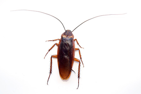 roach: single back cockroach isolate on white background