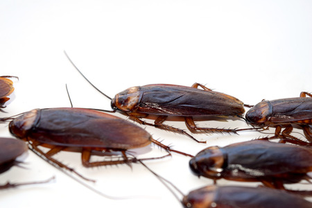roach: Group walk cockroach isolate on white background