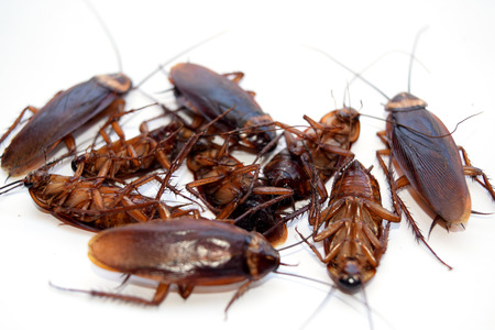 roach: Group dead cockroach isolate on white background
