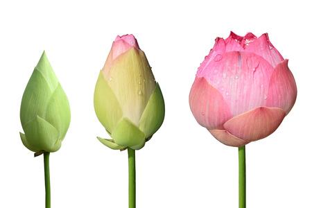 아름 다운 핑크 연꽃 3 스타일의 흰색 배경에 격리 스톡 콘텐츠