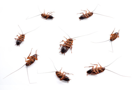 masses: cockroach masses dead isolate on white background Stock Photo
