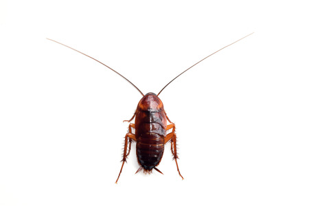 roach: Little single upset cockroach isolate on white background Stock Photo