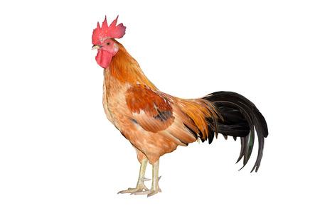 gallo: bantam pollo, gallo aislado en el fondo blanco de corte Die