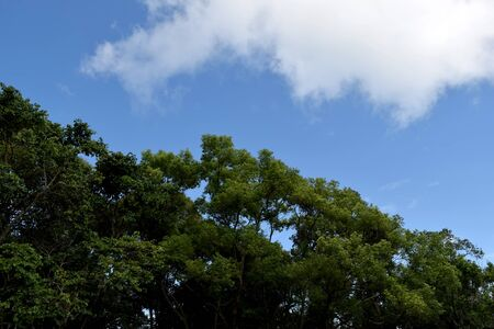 forest trees: white Cloud Blue sky and Forest trees