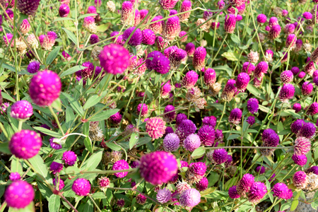 pearly: AMARANTH or Bachelors button, Button agaga, Everlasting, Gomphrena, Globe amaranth, Pearly Everlasting
