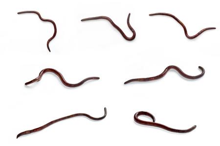 lombriz: Earthworm es un conjunto en forma de tubo aislado en fondo blanco Foto de archivo