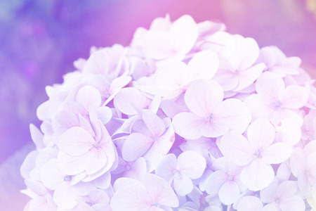 retro flowers: Hydrangea flowers in soft color style for Abstract background. Stock Photo