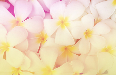 pink plumeria: Plumeria or Frangipani  in soft color style for Abstract background.