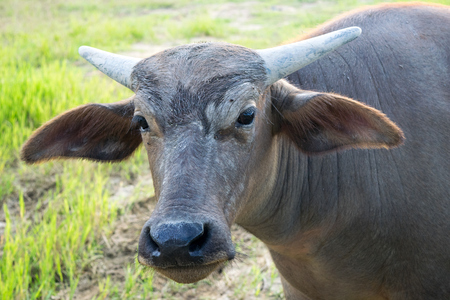 oxpecker: Close up Head Little buffalo it looking camera