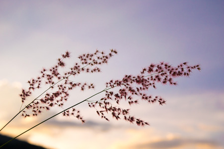 pink skies: Flower Grass in evening time -  purple soft sky