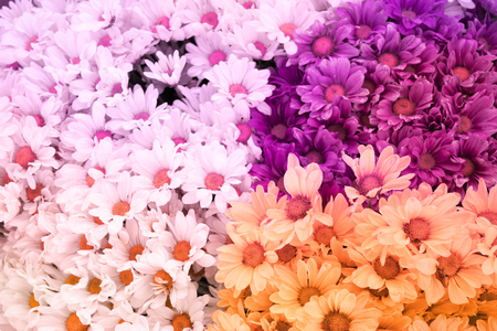 selective focus: Chrysanthemum flower is sweet soft style abstract background